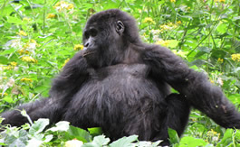 7 days gorilla safari