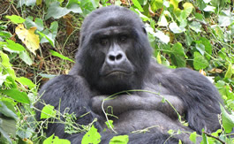 MOUNTAIN GORILLA CONGO