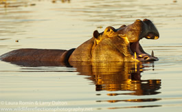 hippo_open_mouth