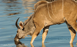 kudu_young_bull_drinking_horizontal