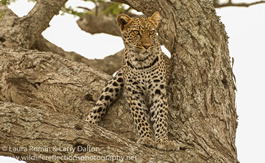 leopard_tree_lounge